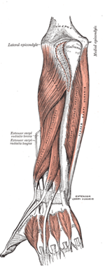 Anteroir Lower_Arm-wb